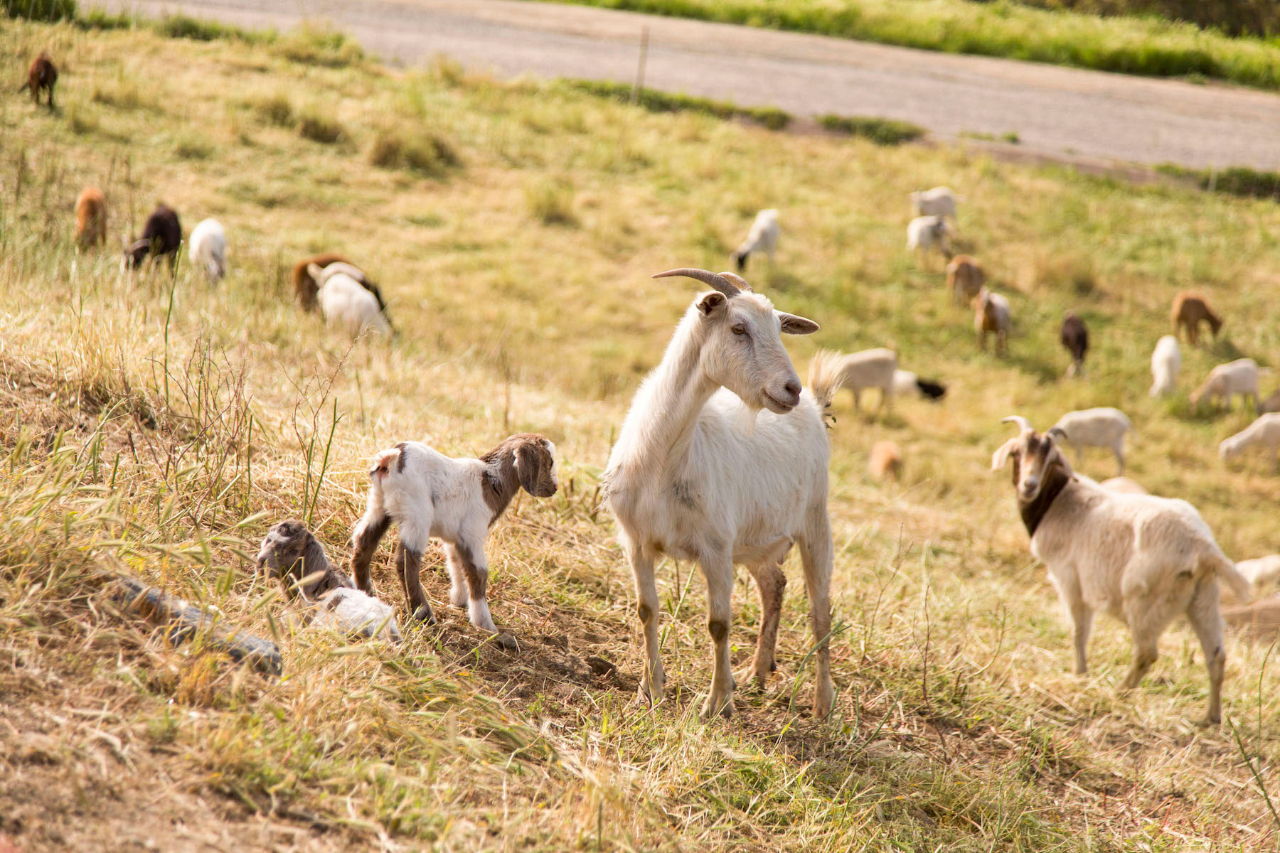 Police Files Goats 1