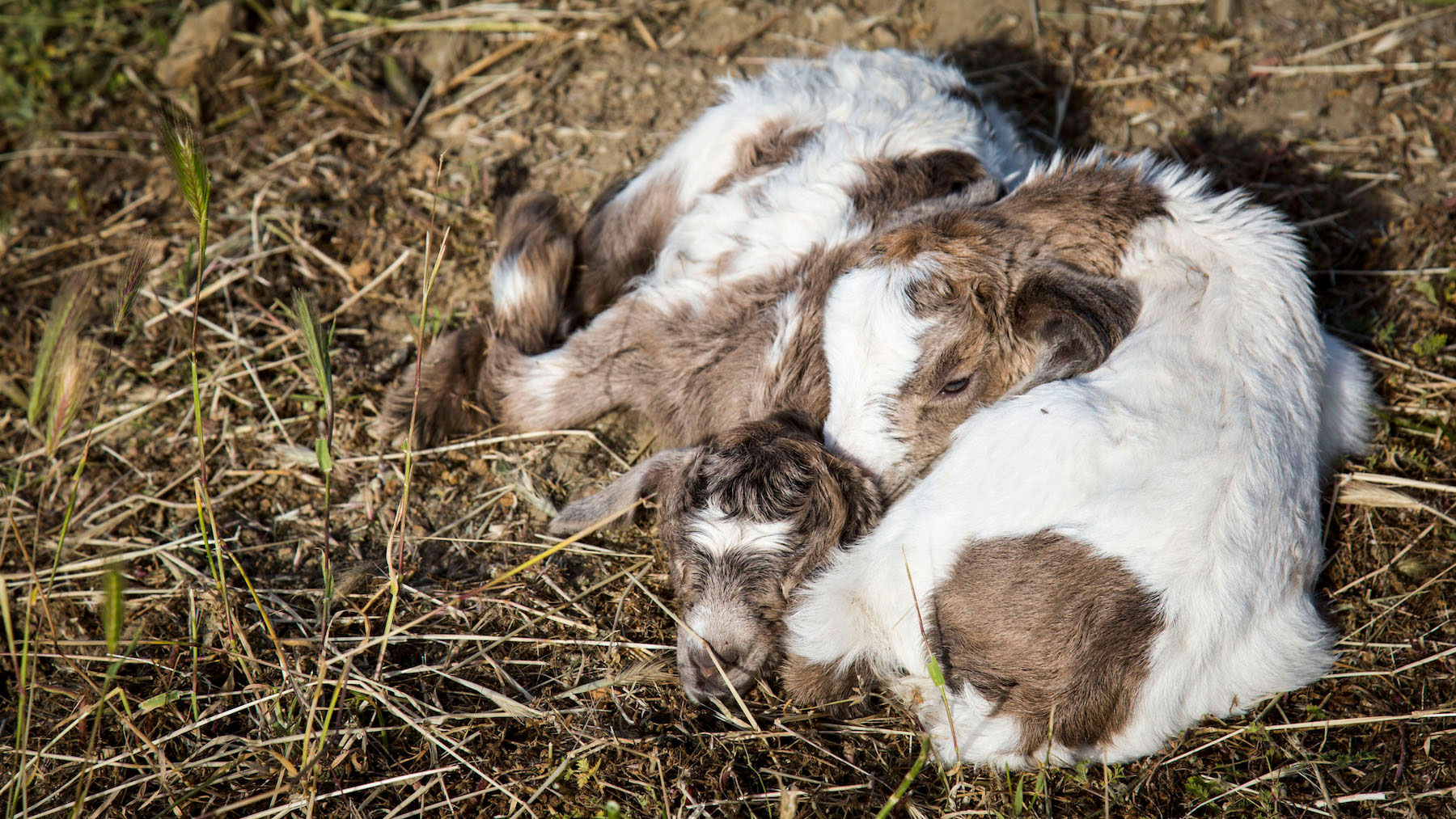 Police Files Goats 2