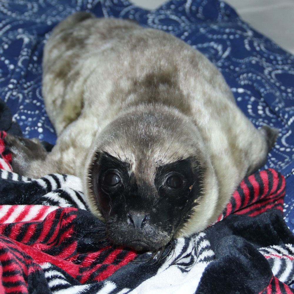 Harbor seal small