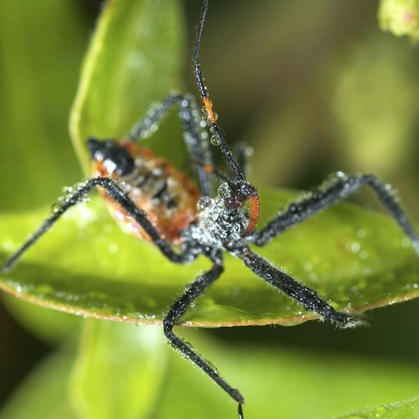 The terrible assassin bug