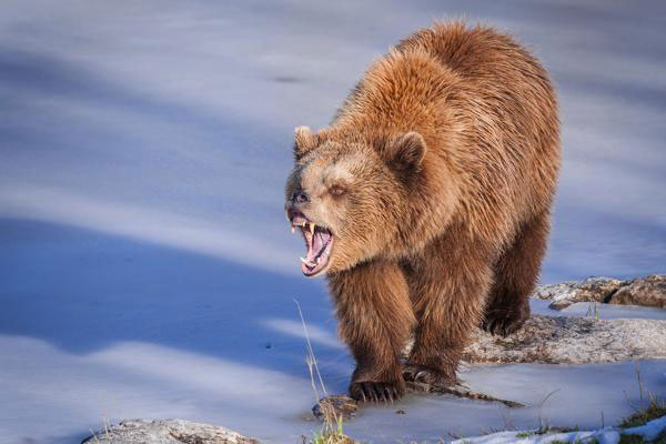 The terrible grizzly